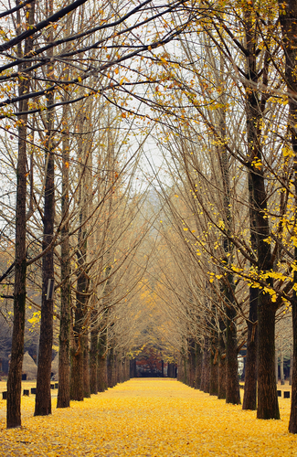 The Metasequoia Trail in Nami Island, the symbolic backdrop of Winter Sonata, is still a hot spot drawing fans of the drama all year round. It's a wonderful place to take a stroll with loved ones